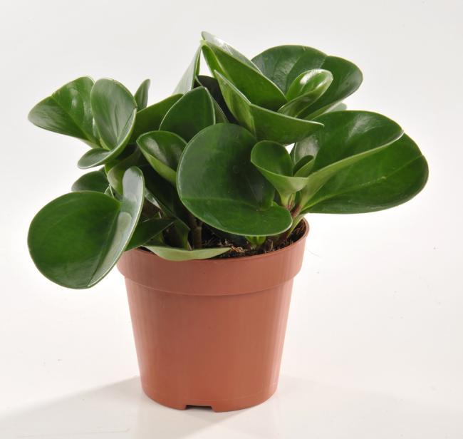 Top 5 des plantes pas chiantes entretenir hellodemain for Plante caoutchouc
