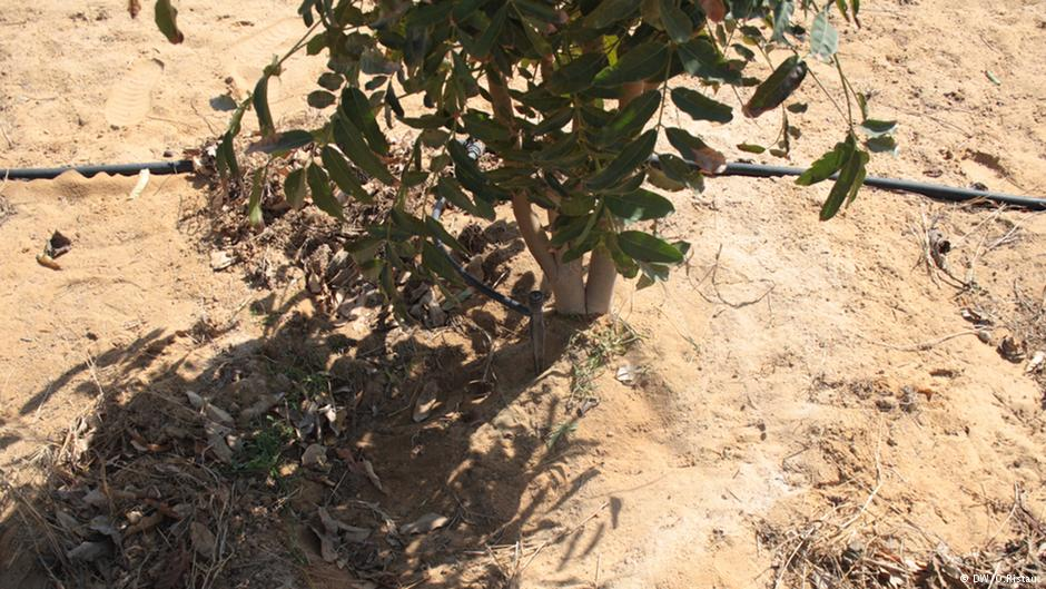 Egypte l 39 eau us e fait pousser la for t dans le d sert hellodemain - Faire pousser des endives dans l eau ...